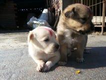 Filhotes de cachorro pequenos Imagem de Stock Royalty Free
