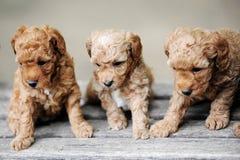 Filhotes de cachorro pequenos Fotos de Stock