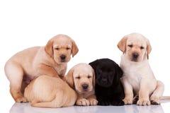 Filhotes de cachorro pequenos curiosos do retriever de Labrador Foto de Stock Royalty Free