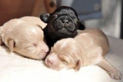 Filhotes de cachorro recém-nascidos Foto de Stock