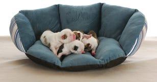 Filhotes de cachorro recém-nascidos Fotos de Stock Royalty Free