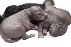Filhotes de cachorro recém-nascidos Foto de Stock Royalty Free
