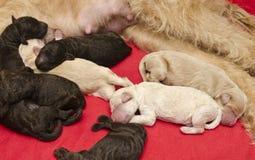 Filhotes de cachorro recém-nascidos Imagem de Stock