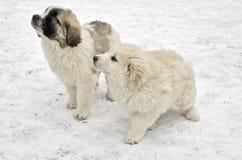 Filhotes de cachorro romenos do pastor Fotografia de Stock Royalty Free