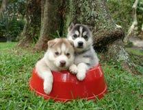 Filhotes de cachorro roncos fotografia de stock royalty free