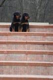 Filhotes de cachorro sérios que modelam em escadas Imagem de Stock