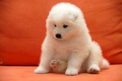 Filhotes de cachorro Samoyede imagem de stock