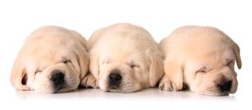 Filhotes de cachorro sonolentos Imagem de Stock