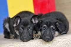 Filhotes de cachorro sonolentos Fotografia de Stock Royalty Free