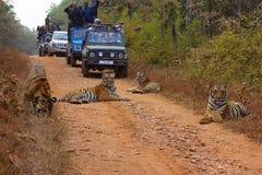 Filhotes de Chandi do tigre, Panthera tigris, santuário de Umred-Karhandla, Maharashtra foto de stock