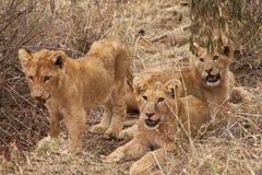 Filhotes de leão Foto de Stock Royalty Free