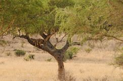 Filhotes de leão adormecidos acima em uma árvore Fotografia de Stock Royalty Free