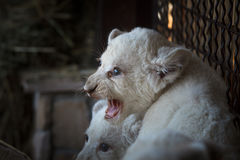 Filhotes de leão brancos carregados no jardim zoológico Fotos de Stock Royalty Free