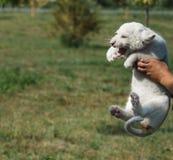 Filhotes de leão brancos carregados no jardim zoológico Foto de Stock Royalty Free