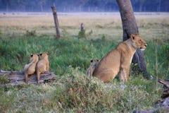 Filhotes de leão e seu mum no alvorecer Fotos de Stock