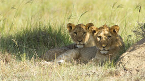 Filhotes de leão novos fotografia de stock