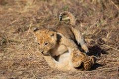 Filhotes de leão que jogam junto, Masai Mara Reserve fotos de stock