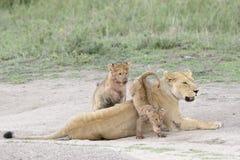Filhotes de leão que jogam no savana, imagens de stock royalty free