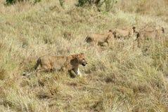 Filhotes de leões no Masai Mara, Kenya Imagens de Stock