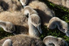 Filhotes de passarinho da cisne muda foto de stock royalty free