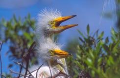 Filhotes de passarinho da garça-real de grande branco Imagens de Stock