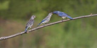 Filhotes de passarinho de alimentação do azulão-americano oriental masculino Fotografia de Stock
