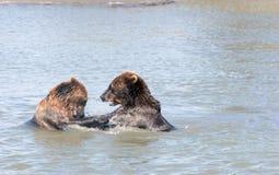 Filhotes de urso de Brown foto de stock royalty free