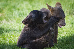 Filhotes de urso do bebê Imagens de Stock Royalty Free