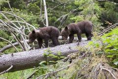 Filhotes de urso do irmão na árvore caída Imagem de Stock