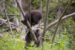 Filhotes de urso entusiasmado na árvore Fotografia de Stock