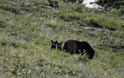 Filhotes de urso preto Fotografia de Stock Royalty Free