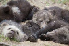 Filhotes de urso que dormem na terra imagens de stock
