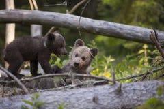 Filhotes de urso que têm o divertimento na floresta Imagem de Stock Royalty Free