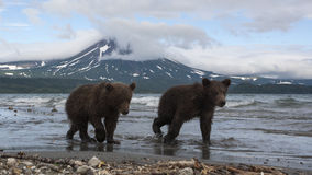 Filhotes de ursos de Brown que travam peixes no lago Imagem de Stock Royalty Free