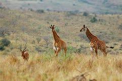 Filhotes do Giraffe e macho do Impala Foto de Stock