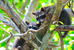 Filhotes do Raccoon na árvore fotografia de stock royalty free