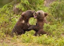 Filhotes euro-asiáticos do urso marrom (arctos de Ursos) Foto de Stock