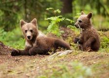 Filhotes euro-asiáticos do urso marrom (arctos de Ursos) Imagem de Stock