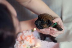 Filhotes recém-nascidos do ridgeback pequeno bonito Fotografia de Stock