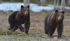 Filhotes running de arctos do Ursus do urso de Brown no pântano na floresta da mola Fotos de Stock