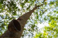Filiżanka dla lateksu na Gumowych drzewach w rzędzie dla gumowego drzewnego gospodarstwa rolnego w Tajlandia Obraz Royalty Free