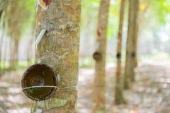 Filiżanka dla lateksu na Gumowych drzewach w rzędzie dla gumowego drzewnego gospodarstwa rolnego w Tajlandia Fotografia Royalty Free