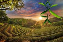 Filiżanka herbata i mennica z ładnym tłem Zdjęcie Royalty Free