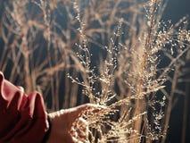 Fili d'erba dorati della tenuta femminile della mano Lungo collega il rivestimento con un manicotto rosso fotografie stock