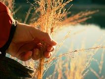 Fili d'erba dorati della tenuta femminile della mano Lungo collega il rivestimento con un manicotto rosso immagini stock