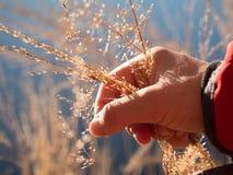 Fili d'erba dorati della tenuta femminile della mano Lungo collega il rivestimento con un manicotto rosso immagine stock libera da diritti