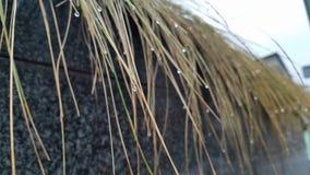 Fili della pianta dell'erba con l'attaccatura delle goccioline di acqua immagine stock