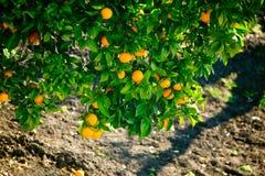 Filiais carregadas com laranjas Fotografia de Stock Royalty Free