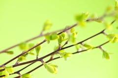 Filiais com as folhas verdes da mola Fotos de Stock Royalty Free