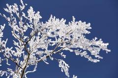 Filiais congeladas Fotografia de Stock Royalty Free